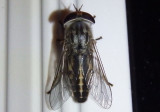 Tabanus lineola; Striped Horse Fly