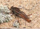 Proctacanthus hinei; Robber Fly species