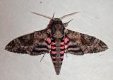 7771 - Agrius cingulata; Pink-spotted Hawkmoth