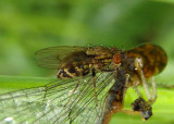Notiphila Shore Fly species