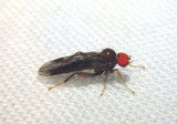 Syneches Hybotid Dance Fly species