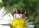 Nomada ruficornis complex; Cuckoo Bee species