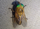 Tabanus quinquevittatus; Horse Fly species