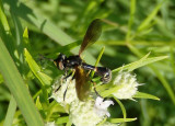 Physoconops obscuripennis; Thick-headed Fly species