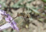 Bombylius lancifer/facialis complex; Bee Fly species