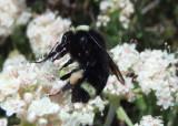 Bombus vosnesenskii; Yellow-faced Bumble Bee
