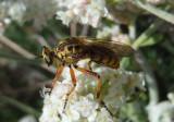 Callinicus pictitarsis; Robber Fly species