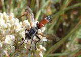 Cylindromyia Tachinid Fly species