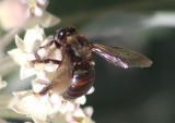 Neoxylocopa Large Carpenter Bee species