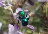 Melanosmia Mason Bee species
