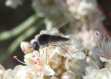 Geron Bee Fly species