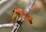 Saropogon luteus; Robber Fly species