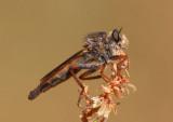 Scleropogon Robber Fly species; female