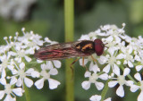 Melanostoma mellinum; Syrphid Fly species; male