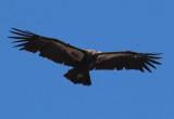 California Condor; juvenile
