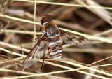 Exoprosopa doris; Bee Fly species