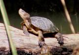 Northern Western Pond Turtle