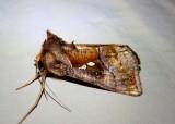 8880-9198 - Noctuidae; Plusiinae through Pantheinae