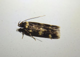 1134 - Oegoconia quadripuncta; Four-spotted Yellowneck Moth