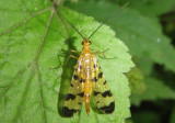 Panorpa Common Scorpionfly species; female