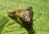 Chrysops Deer Fly species