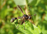 Physoconops brachyrhynchus; Thick-headed Fly species; male