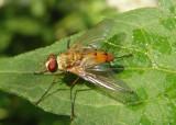 Leskiini Tachinid Fly species