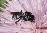 Triepeolus Cuckoo Bee species
