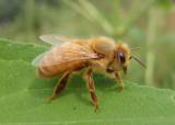 Apis mellifera; Western Honey Bee; female