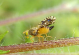 Euaresta bella; Fruit Fly species; female