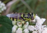 Hedriodiscus binotatus; Soldier Fly species; female