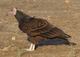 Turkey Vulture; juvenile