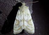 9873-10217 - Noctuidae; Cucillinae