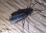 Penthetria heteroptera; March Fly species