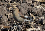 Rusty Blackbird; basic female