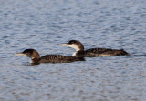 Common Loons; basic