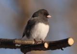 Dark-eyed Slate-colored Junco; male