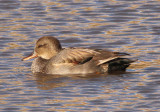 Gadwall; young male