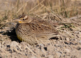Probable Western Meadowlark; basic