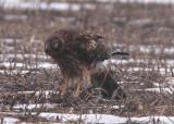 Northern Harrier; female