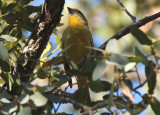 Hepatic Tanager; female