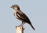 Lark Bunting; transitional male