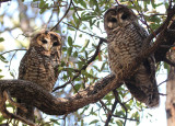 Mexican Spotted Owl pair