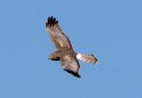 Northern Harrier; male