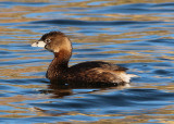 Pied-billed Grebe; transitional plumage