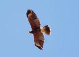 Harris's Hawk; immature