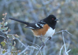 Spotted Towhee; male