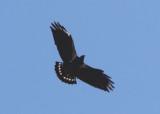 Zone-tailed Hawk