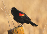 Red-winged Blackbird; male