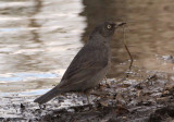 Rusty Blackbird; breeding